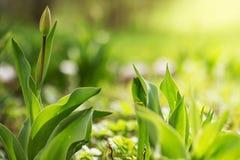 πράσινο καλοκαίρι ανασκόπησης Οι πράσινες τουλίπες λουλουδιών Τα φυτά και τα λουλούδια αυξάνονται στο έδαφος Στοκ Εικόνες