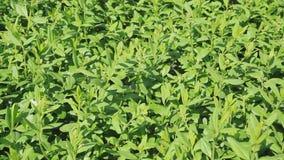 Πράσινο καλοκαίρι μίσχων φυτών υποβάθρου φύλλων φύσης χλόης απόθεμα βίντεο