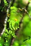 πράσινο καλοκαίρι φύλλων & Στοκ Φωτογραφίες