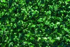 Πράσινο κατασκευασμένο υπόβαθρο χλόης Τομέας της θερινής χλόης, horizont Στοκ Φωτογραφίες