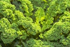 πράσινο κατσαρό λάχανο Στοκ Εικόνες