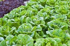 πράσινο κατσαρό λάχανο Στοκ εικόνα με δικαίωμα ελεύθερης χρήσης