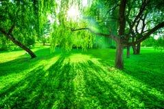 πράσινο καλοκαίρι πάρκων Ήλιος που λάμπει μέσω των δέντρων, φύλλα Στοκ Εικόνα