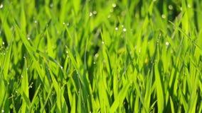 πράσινο καλοκαίρι πρωινού χλόης δροσιάς φιλμ μικρού μήκους