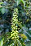Πράσινο κεράσι καφέ στοκ εικόνα με δικαίωμα ελεύθερης χρήσης
