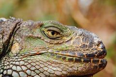 Πράσινο κεφάλι iguana, Tenerife, Ισπανία Στοκ Εικόνες