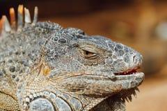 Πράσινο κεφάλι iguana, Tenerife, Ισπανία Στοκ φωτογραφίες με δικαίωμα ελεύθερης χρήσης