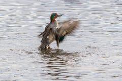πράσινο κιρκίρι φτερωτό Στοκ εικόνα με δικαίωμα ελεύθερης χρήσης