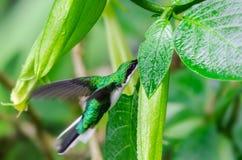 Πράσινο κολίβριο που εξάγει το νέκταρ από τον οφθαλμό λουλουδιών στοκ φωτογραφία με δικαίωμα ελεύθερης χρήσης