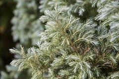 Πράσινο κομψό σχέδιο, υπόβαθρο πεύκων, αειθαλής λεπτομερής φωτογραφία στοκ φωτογραφίες