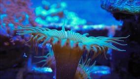 Πράσινο κοράλλι Palythoa απόθεμα βίντεο