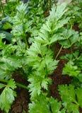 Πράσινο κορίανδρο ή Coriandrum sativum Λ στο οργανικό αγρόκτημα Στοκ εικόνες με δικαίωμα ελεύθερης χρήσης
