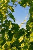 πράσινο κρασί φύλλων στοκ φωτογραφίες με δικαίωμα ελεύθερης χρήσης