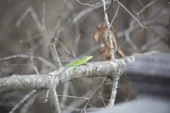 Πράσινο κυνήγι Anole Στοκ εικόνες με δικαίωμα ελεύθερης χρήσης