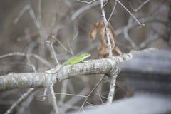 Πράσινο κυνήγι Anole Στοκ Φωτογραφία