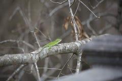 Πράσινο κυνήγι Anole Στοκ Εικόνες