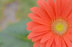 πράσινο κόκκινο λουλο&upsilon Στοκ Φωτογραφία
