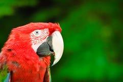 πράσινο κόκκινο παπαγάλων & Στοκ φωτογραφία με δικαίωμα ελεύθερης χρήσης