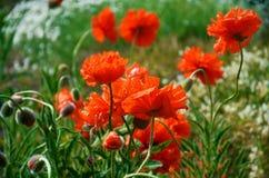 πράσινο κόκκινο παπαρουνώ& Στοκ Φωτογραφίες