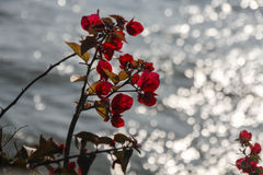 πράσινο κόκκινο φύλλων λο Στοκ Φωτογραφίες
