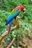 πράσινο κόκκινο macaw Στοκ Εικόνες
