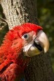 πράσινο κόκκινο macaw chloroptera ara Στοκ φωτογραφίες με δικαίωμα ελεύθερης χρήσης