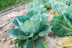 Πράσινο λάχανο για την κουζίνα σας Στοκ Εικόνα