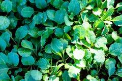 πράσινο λαχανικό στοκ εικόνες