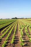 πράσινο λαχανικό στοκ φωτογραφία