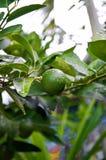 Πράσινο λεμόνι στον κήπο Στοκ φωτογραφία με δικαίωμα ελεύθερης χρήσης