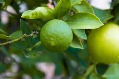 Πράσινο λεμόνι στον οργανικό κήπο Στοκ Εικόνες