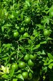 Πράσινο λεμόνι στο δέντρο λεμονιών με τα φύλλα Στοκ φωτογραφία με δικαίωμα ελεύθερης χρήσης