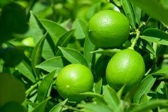 Πράσινο λεμόνι στο δέντρο λεμονιών με τα φύλλα Στοκ φωτογραφίες με δικαίωμα ελεύθερης χρήσης