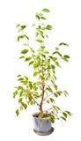 πράσινο λευκό δέντρων δοχ&ep Στοκ φωτογραφίες με δικαίωμα ελεύθερης χρήσης