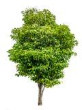 πράσινο λευκό δέντρων Στοκ Εικόνες