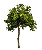πράσινο λευκό δέντρων Στοκ εικόνες με δικαίωμα ελεύθερης χρήσης