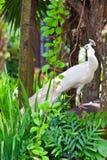 πράσινο λευκό peacock φυλλώματ&om Στοκ φωτογραφία με δικαίωμα ελεύθερης χρήσης
