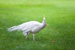 πράσινο λευκό peacock Στοκ εικόνες με δικαίωμα ελεύθερης χρήσης