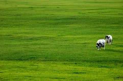 πράσινο λιβάδι δύο αγελάδ& Στοκ Φωτογραφία