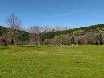 Πράσινο λιβάδι με τις αγελάδες και τα βουνά της οροσειράς Gredos στο υπόβαθρο, μια ημέρα άνοιξη στοκ φωτογραφίες με δικαίωμα ελεύθερης χρήσης