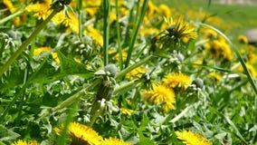 Πράσινο λιβάδι με τις ανθίζοντας κίτρινες πικραλίδες απόθεμα βίντεο