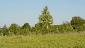 Πράσινο λιβάδι με τις σημύδες ενάντια στο μπλε ουρανό φιλμ μικρού μήκους