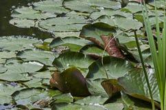 Πράσινο λιμνών υδρόβιων ζώων ειδών βατράχων ή rana αμφίβιο στον ήλιο στο μαξιλάρι κρίνων, νότιο πάρκο Στοκ φωτογραφία με δικαίωμα ελεύθερης χρήσης