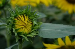 Πράσινο λουλούδι ήλιων στοκ εικόνες