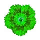 Πράσινο λουλούδι γαρίφαλων που απομονώνεται στο άσπρο υπόβαθρο Κινηματογράφηση σε πρώτο πλάνο Στοκ φωτογραφία με δικαίωμα ελεύθερης χρήσης