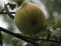Πράσινο μήλο σε έναν κλάδο Στοκ Εικόνα