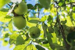 πράσινο μήλο στον κλάδο ενάντια στο μπλε ουρανό Στοκ Εικόνες