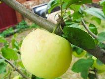 πράσινο μήλου δέντρο Στοκ Φωτογραφίες