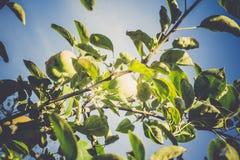 πράσινο μήλου δέντρο Στοκ εικόνα με δικαίωμα ελεύθερης χρήσης