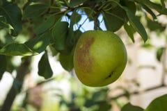 Πράσινο μήλο σε έναν κλάδο δέντρων Στοκ Εικόνες